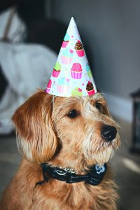 Welcoming Ceremonies by Sharon Gordon Celebrant brown terrier dog in a pointy party hat